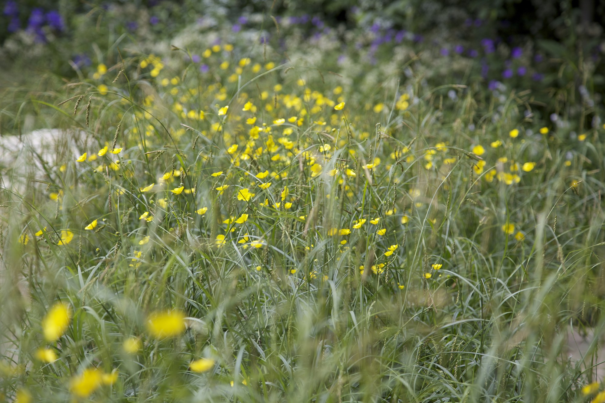 Informal planting of grass and buttercups at Adam's Chelsea 2014 garden