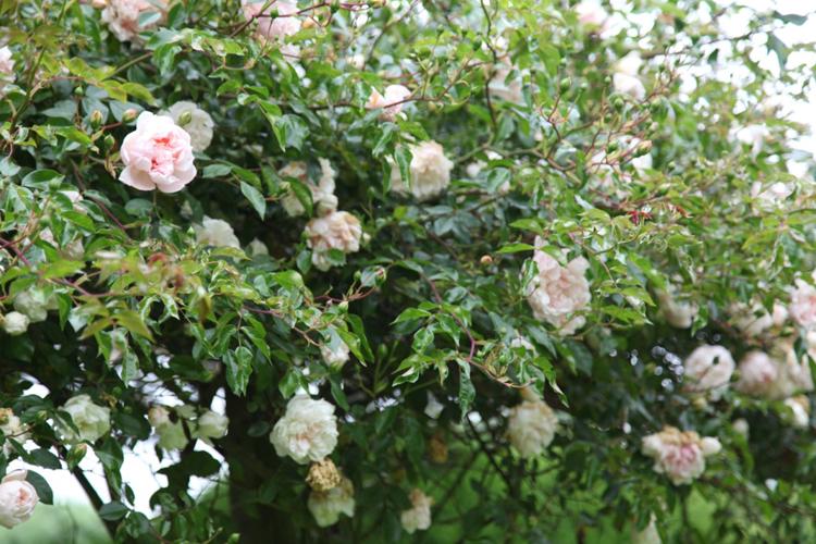 Roses flowering at the Adam Frost Garden School
