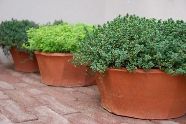adam-frost-chelsea-2008-garden-thyme